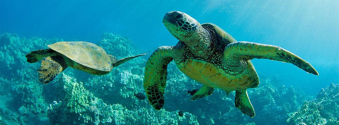 Turtles at Makena
