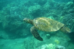 Swim with the turtles off Kamaole I beach