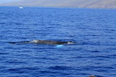 Whales in Kihei Bay - Humpback