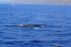 Whales in Kihei Bay - Humpback