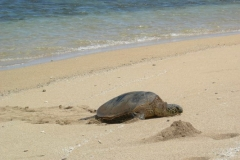 Turtle on island of Lanai