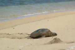 Turtle on Lanai