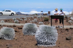 Silversword flower - Lives at the top of Mt Haleakala, the only place in the world its found