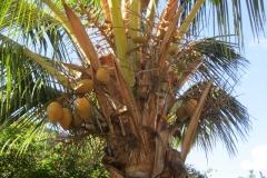 Kihei Kai Nani coconut palm